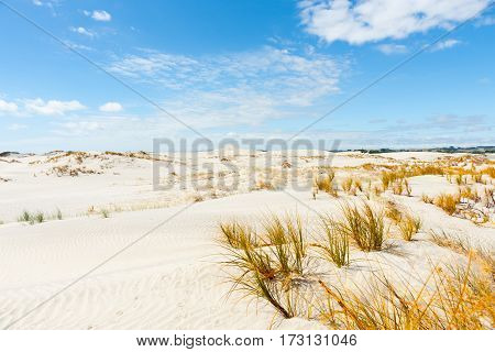 Sedge grass growing in stunning Mangawhai Heads sand dunes in widswept rolling formation to horizon