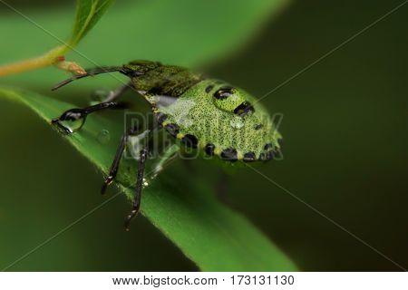 Closeup of green Palomena prasina bug with water drops.