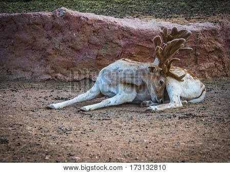 Sika Deer With Young Upholstered Leather Horns