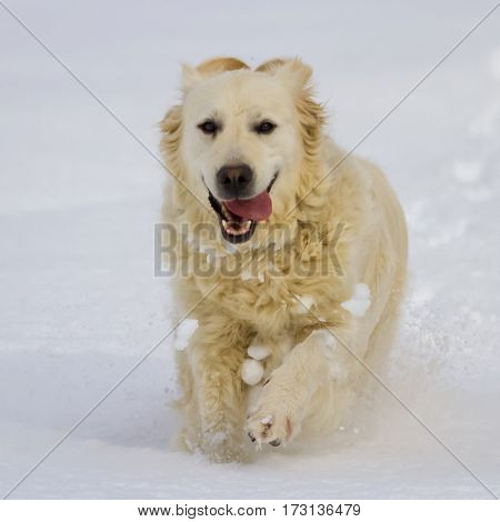 Golden retriever dog running in the snow by winter day
