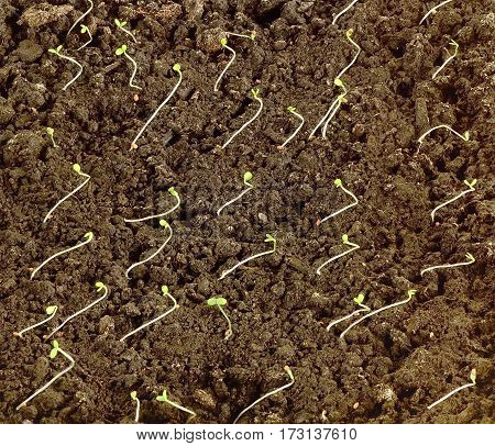 many small sprouts of strawberry seedlings from seed in the garden in the earth closeup