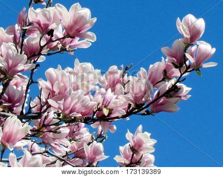 Pink magnolia flowers in Thornhill Canada May 4 2013