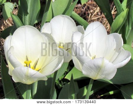 White tulips in Thornhill Canada May 5 2013