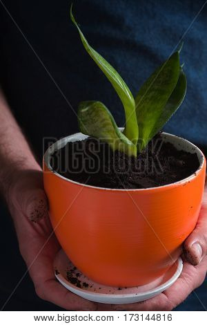 Man planted a flower with green leaves in a pot vertical
