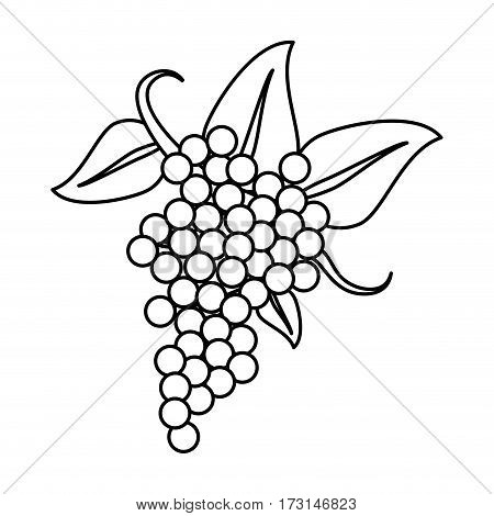 bunch grape wine thin line vector illustration eps 10