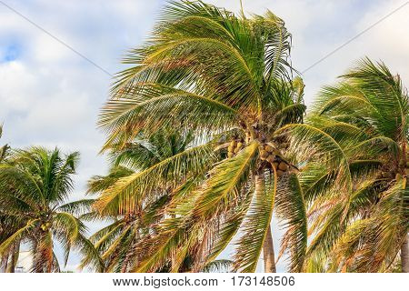 Palm trees leaning in storm with clouds