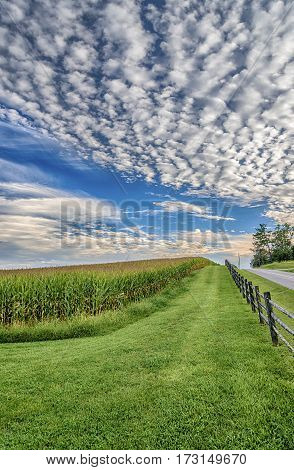 Vertical shot of a late summer corn field with a nice cloudy sky.