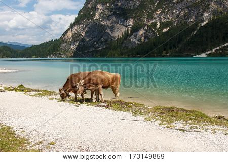 Cows near lake Pragser Wildsee in Italy Alps
