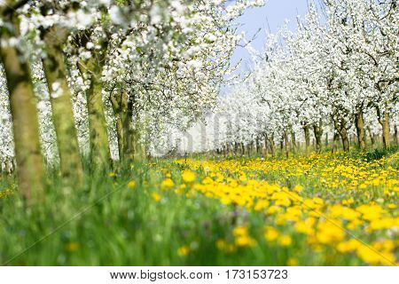 Beautiful spring green grass and yellow dandelion flower meadow lawn and plum tree orchard budding in white blossom in bright sunlight