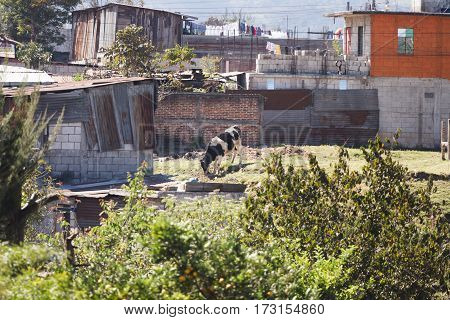 Lone cow grazing near shacks and houses in rural Guatemalan town.