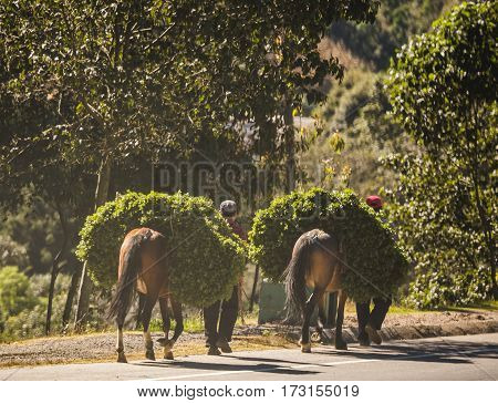 Horses carrying heavy loads walking with workers down a road in rural Guatemala Central America.