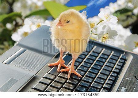 Beautiful newborn little chicken and laptop outdoor
