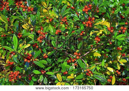 red berries on blooming Holly bush glossy leaves background