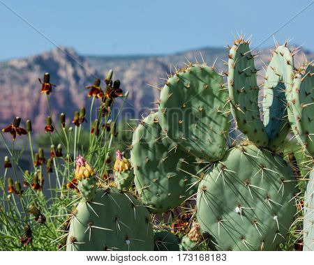 Prickly pear cactus and red flowers with red rocks in the background in Sedona Arizona
