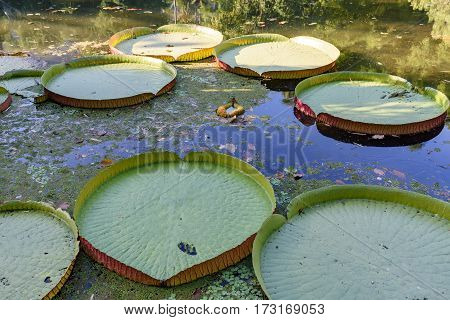 Detail of texture clolors and shape of Victoria amazonica on a lake
