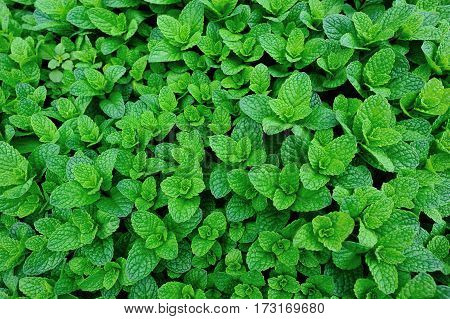 closeup of green mint plants in growth at garden
