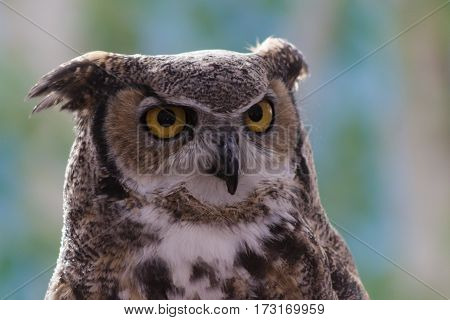 A Great Horned Owl with its