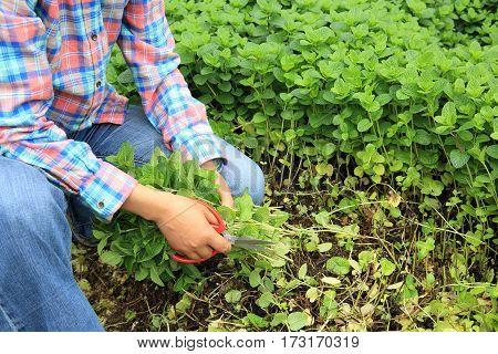 woman gardener havest mint platns at garden