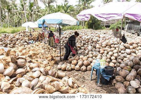 Koh Phangan Thailand 29.09.2015 : local workers are peeling many coconuts from the farm on Island Koh Phangan piles of nuts with a spearhead knife