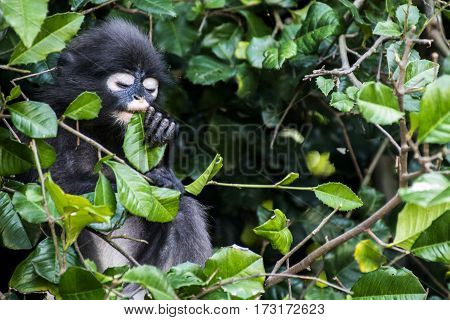langur monkey real wildlife sitting in a tree Wua Talap island Ang Thong National Marine Park Thailand