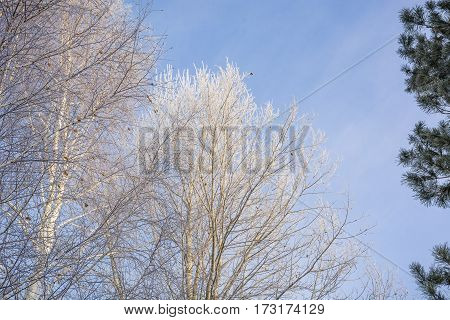 The Frozen Tree. In The Winter The Tree Froze From Cold.