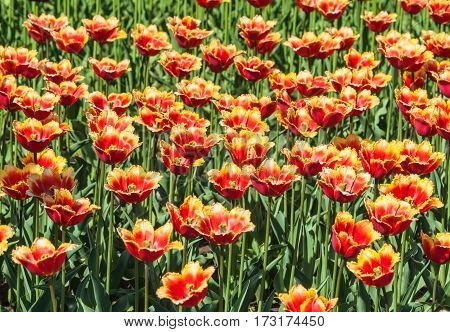 Fringed tulips red and yellow in the nursery. Background