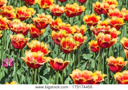 Yellow and red fringed tulips in the nursery
