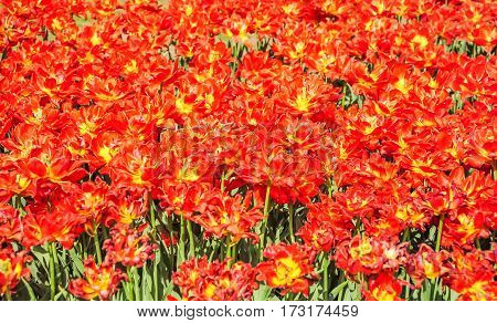 Bright red terry tulips in a flower nursery. Background
