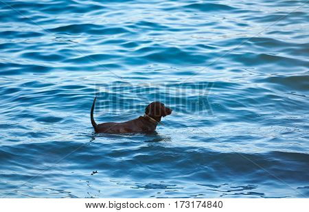 One Black Labrador Play In Blue Water
