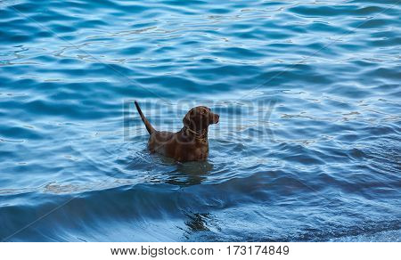 Black Labrador Stand In Blue Water
