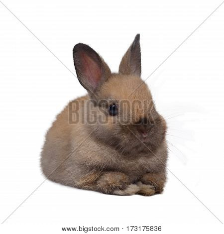 Baby netherland dwarf rabbit squat on white background.