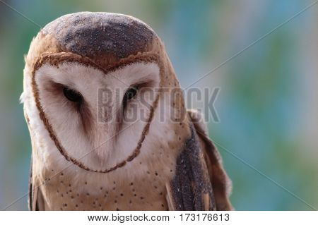 A barn owl showing his blue speckled head chest and wings.
