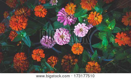 Beautiful pink and orange flower Zinnia violacea