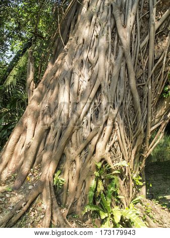 The large Bodhi tree For many years of age