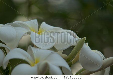 Plumeria White Blooming beautiful Get beautiful bokeh dawn light.