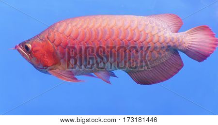 Arowana in aquarium, ornamental fish is considered a symbol of luck, success of Asians in keeping them indoors