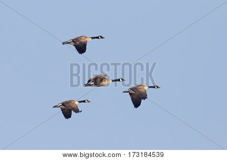 Group Of Canada Geese Migrating In Spring - Ontario, Canada