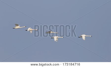Group Of Tundra Swans Migrating In Spring - Ontario, Canada