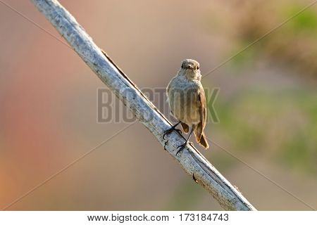Taiga, red-throated Flycatcher migratory bird in brown perching on dried tree branch with blurred background  in Thailand, Asia (Ficedula albicilla)