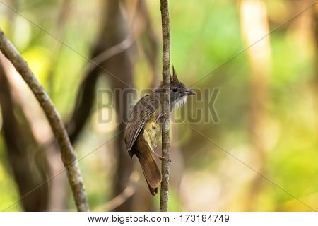 Puff-throated Bulbul songbird olive yellow bird with puffy white throat feathers perching on branch with blurred green forest, background in Thailand, Asia (Alophoixus pallidus)