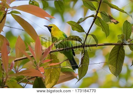 Male Blue Winged Leafbird, green bird with yellow head, black face throat with blue moustachial line perching on tree branch with blurred background  in Thailand, Asia (Chloropsis cochinchinensis)