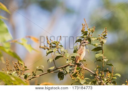 Brown Shrike bird in brown with darker bandit mask on the eye perching on top of tree with blurred forest background in Thailand, Asia (Lanius cristatus)