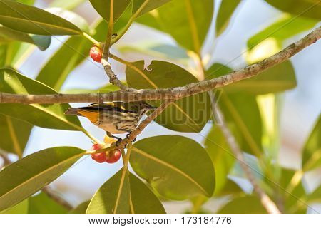 Yellow vented flowerpecker bird with stripe tummy perching on tree branch near ripe red fruit in Thailand, Asia (Dicaeum chrysorrheum)