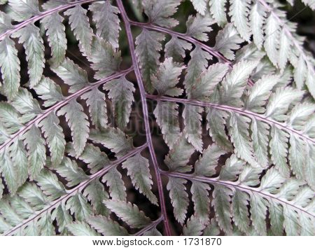 Silver Fern Frond