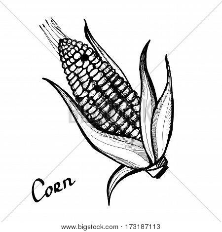 Corn. Monochrome illustration on a light background. Hand-drawn.