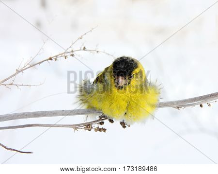 The siskin sits on a grass in the winter sunny day