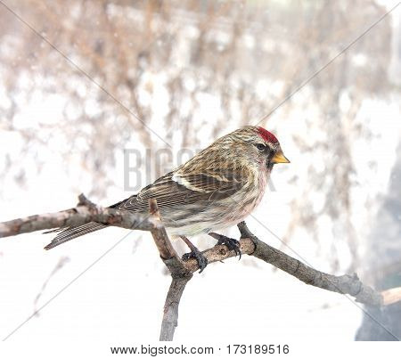 The redpoll sits on a branch in the winter foggy morning