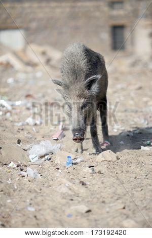 wild pig on the street of town India