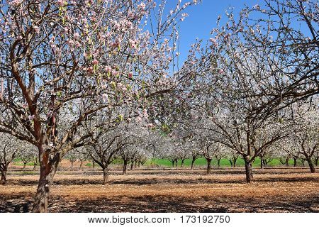 blossoming almond trees in the gardens at the Foot of the Mount Tabor, Lower Galilee, Israel