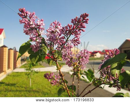 flowering of lilac in spring against green grass and blue sky